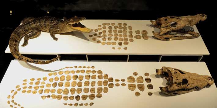 Крокодил ацтеков