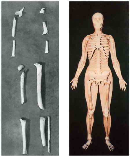Скелет жены Тангуна и ее реконструкция.