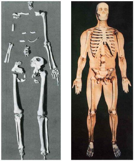 Скелет Тангуна и его реконструкция.
