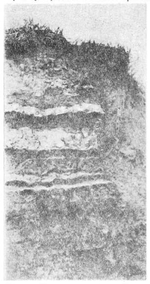 Обнажение первой надпойменной террасы в окрестностях поселка Ключи. Видны слои вулканических пеплов Шивелуча