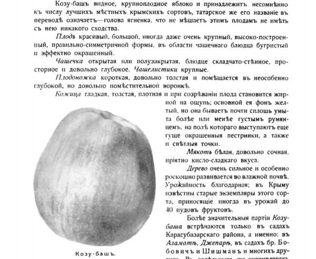 Яблоко сорта Козу-баш. Из книги Л. Симиренко «Крымское промышленное плодоводство»